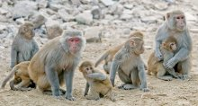 Photo of Rhesus macaque monkeys by Amada44