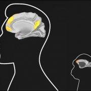 human and monkey brain comparison