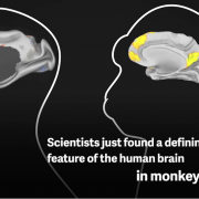 Scientists just found a defining feature of the human brain in monkeys.