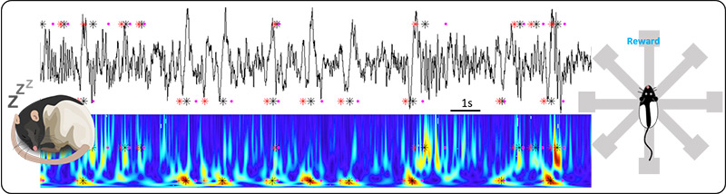 rat sleeping, waveform recordings, rat moving towards reward