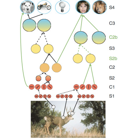 a picture of a deer with a diagram extending above it on visual pathways of the human brain