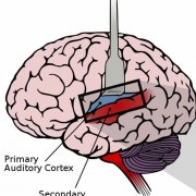 illustration of auditory cortex regions in a human brain