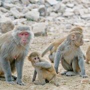 Photo of Rhesus macaque monkeys by Amada44