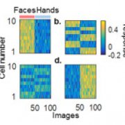 Developmental dynamics of selectivity and invariance in macaque inferotemporal cortex
